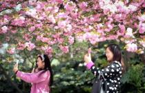 中国科学技术大学校园樱花美