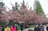 中国科技大学校园樱花美 引游客观赏(实拍)