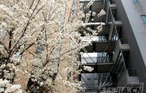 安徽大学图书馆旁樱花盛开 过路学生驻足观赏拍照