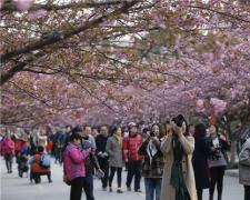中国科技大学樱花绽放 吸引大量合肥游客