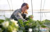 马鞍山90后女大学生创业: 种植30亩草莓注册自己公司