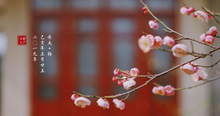 春天到了梅花开了!今天的安大老区,美成这样!