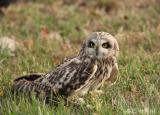 阜阳师范大学保护生物学研究中心救护国家二级重点保护动物——短耳鸮