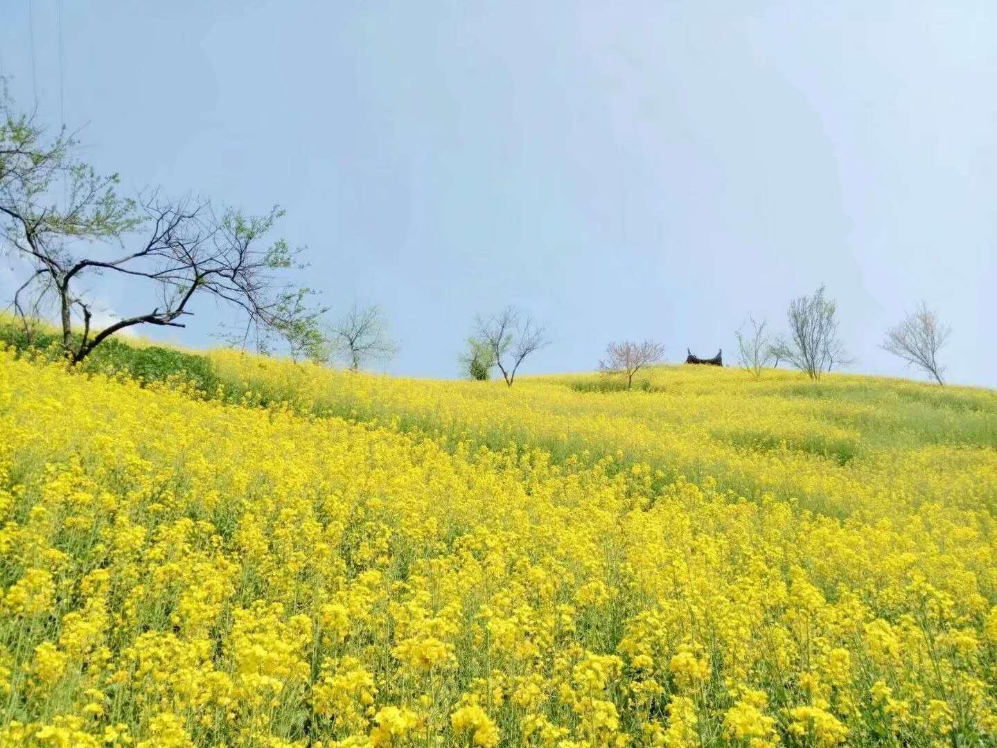 """春天到了,江南的油菜花开了!一起""""云赏花""""吧!"""