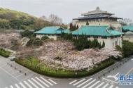 武大樱花开了!武汉大学开通云赏樱 向公众展示校园樱花美景