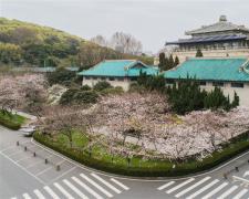 武大櫻花開了!武漢大學開通云賞櫻 向公眾展示校園櫻花美景