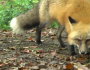 武大网红狐狸下山觅食!网友:樱花加红狐 有点浪漫