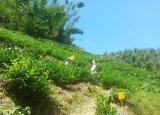 安徽农大学子赴黄山区新明乡开展茶产业调研